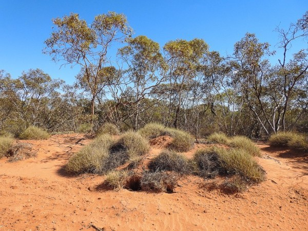 Spinifex and the Mallee Country.
