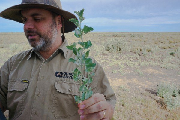 Tasting the Old Man Saltbush