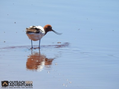 Amazing Red-necked Avocet, Yanga National Park