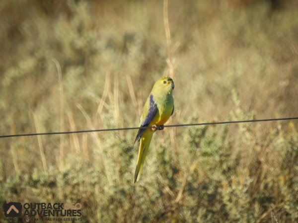 Blue-winged parrot - Mungo National Park